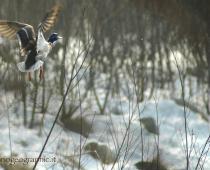 Gli Uccelli : Il Germano Reale Il maschio è caratterizzato dal colore verde metallico del capo e della parte superiore del collo, delimitato sopratutto dalla parte del petto da un bel collare bianco. Il Germano reale è squisitamente monogamo ed è fedelissimo, nel tempo alla sua femmina. E stato dimostrato che una coppia ha vissuto ed ha generato per oltre dieci anni insieme. La foto ritrae un bellissimo maschio adulto ovviamente in volo in fase di decollo, Il Germano è un potente e veloce volatore.