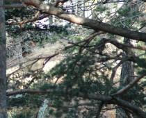 I Mammiferi : Il Capriolo Una bellissima immagine di un giovane capriolo con le corna ancora vellutate, da notare il mimetismo con il luogo che lo circonda. In queste montagne capita spesso di incontrarmi con questa specie e direi che l'emozione e sempre forte, dopo aver fatto questa foto mi ricapita lo stesso esemplare, dopo circa due orette di cammino ad un altezza più elevata.