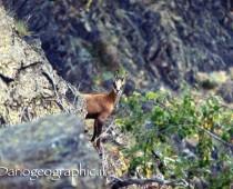 Il piccolo Camoscio intento a guardarmi , il tempo di fare due scatti al principino della montagna e poi via .