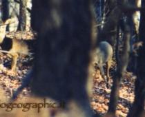 Sempre dalle mie primissime foto a pellicola ecco le prime dei Caprioli di qui uno praticamente nascosto. era meglio che tornare a casa a mani vuote