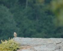 Una piccola sosta per questa Poiana Le limitate esigenze ecologiche ne fanno il rapace diurno più frequente e diffuso sulle Alpi a quote medio-basse.