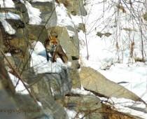 Mammiferi: La Volpe Momenclatura : Lat. Vulpes vulpes,Inglese : Fox .Germania : Fuchs Spagnolo : Zorra Polacco : Lis.Nome dialettale Piemontese : Voulp.