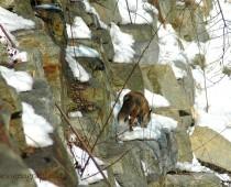 La foto ritrae una Volpe adulta sulle pendici del Chisone a pochi metri del corso del fiume, essa si avventura di rado vicino al fiume ma quando il cibo scarseggia tutto e territorio di caccia. Le sue misure sono di media ad un metro:60cm per il corpo e 40 cm per la grossa e caratteristica coda.