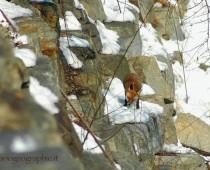 Il peso della Volpe può variare da 6 a 10 chili, in taluni individui anche 14 chili. Il manto della volpe può variare di colore da soggetto a soggetto, in dipendenza dell'ambiente in cui vive. Normalmente si a una tinta rosso ruggine per le parti superiori, mentre le parti inferiori sono di bianco giallastre.